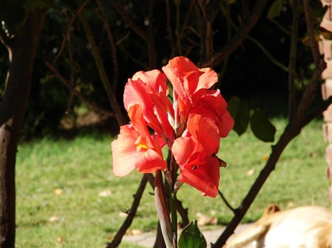 Flor roja (Large)