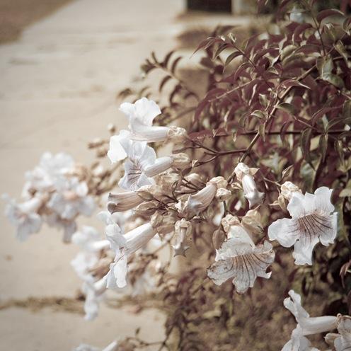 Flores blancas que eran rosas-1562