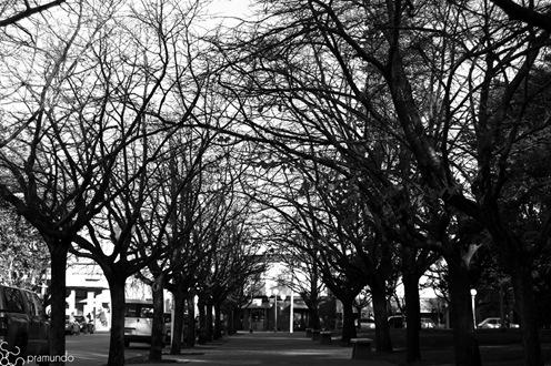 Árboles de la plaza en b&n-2512