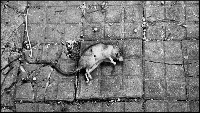 le rat-_DSC4091